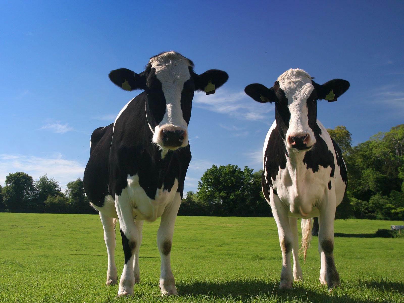 Slide 1 Twee koeien