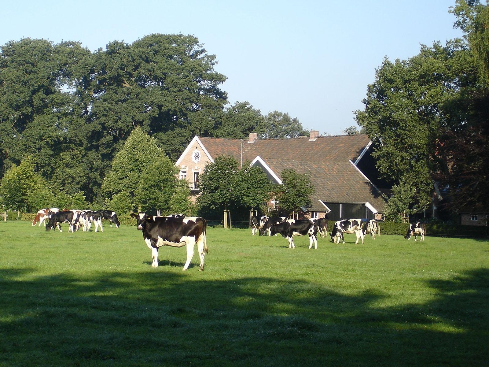 Slide 2 De Zuivelhoeve met koeien